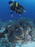 Diver and Giant Clam in Coral Reef  Great Barrier Reef  Australia