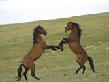 Mustang / Wild Horse  Two Stallions Fighting  Montana  USA Pryor Mountains Hma
