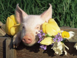 Mixed Breed Domestic Piglet  USA