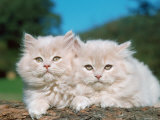 Two Persian Cats  Kittens (Felis Catus)