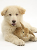 Domestic Puppy (Canis Familiaris) with Bunny