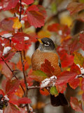 American Robin  Male in Black Hawthorn  Grand Teton National Park  Wyoming  USA
