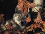 Grey Wolf Portrait with Autumn Leaves  USA