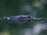 American Alligator Submerged  Sanibel Is  Florida  USA