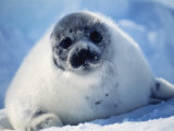 Harp Seal Pup on Ice at Start of Moult  Magdalen Is  Canada  Atlantic