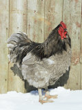Blue Orpington Domestic Chicken  in Snow  USA