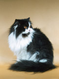 Persian Domestic Cat  Bi-Colored