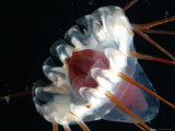 (Periphylla Sp) Jellyfish  Deep Sea Atlantic Ocean