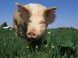 Domestic Pig Portrait  USA