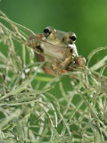 Mexican Treefrog  on Spanish Moss  Texas  USA