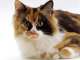 Domestic Cat  Tortoiseshell and White