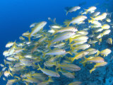 Schooling Bigeye Snappers  Great Barrier Reef  Australia