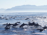 Large School of Common Dolphins Feed on Sardines  False Bay  W Cape  S Africa (Delphinus)