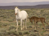 Mustang / Wild Horse  Grey Mare with Colt Foal Stretching  Wyoming  USA Adobe Town Hma