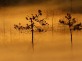 Scots Pines  in Morning Mist  Finland