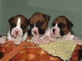 Three Boxer Puppies  USA