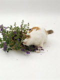 Domestic Cat  Tortoiseshell-And-White Rubbing Herself on Flowering Catmint / Catnip