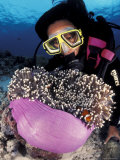 Diver with False Clown Anemonefish  in Anemone