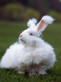 Domestic Angora Rabbit
