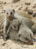 Banded Mongoose and Young  Etosha National Park  Namibia