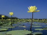 Yellow Water Lilies  in Bloom on Lake  Welder Wildlife Refuge  Sinton  Texas  USA