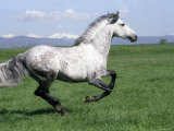Grey Andalusian Stallion Cantering with Rocky Mtns Behind  Colorado  USA