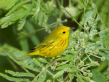 Yellow Warbler  Male  South Padre Island  Texas  USA