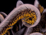 Close up of Curled Arms of Feather Star  Indo-Pacific