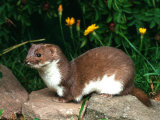 Weasel (Mustela Nivalis) Europe