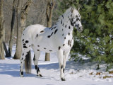 Appaloosa Horse in Snow  Illinois  USA