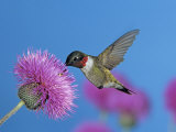Ruby Throated Hummingbird  Feeding from Flower  USA