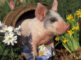Domestic Piglet in Barrel  Mixed-Breed