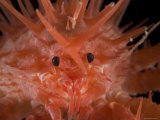 (Neolithodes Sp) a Benthic  Deep Sea Crab  Deep Sea Atlantic Ocean