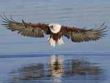 African Fish Eagle Fishing  Chobe National Park  Botswana