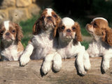 Four King Charles Cavalier Spaniel Puppies with Log