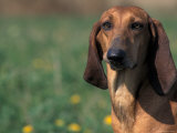 Smooth / Short-Haired Segugio Italiano Hound Portrait