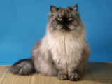 Colorpoint Persian Cat