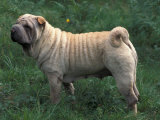 Shar Pei Standing in Grass Showing Wrinkles on Back
