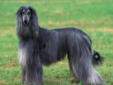 Grey Afghan Hound Body Portrait