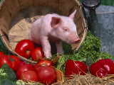 Domestic Piglet  in Bucket with Apples  Mixed Breed  USA