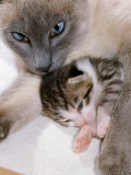 Domestic Cat  Cross Bred Tabby Kitten with Siamese Mother