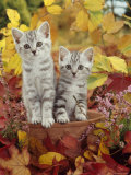 Domestic Cat  8-Week  Silver Tabby Kittens Among Heather and Autumnal Leaves