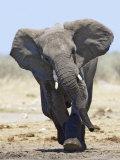 African Elephant  Charging  Etosha National Park  Namibia