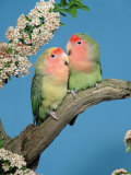 Pair of Peach-Faced Lovebirds