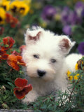 West Highland Terrier / Westie Puppy Among Flowers
