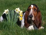 Basset Hound  Amongst Daffodils  USA