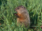 Woodchuck  Minnesota  USA
