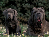 Black Neopolitan Mastiff with Puppy