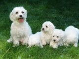 Maltese with Puppies