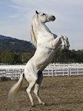 Grey Andalusian Stallion Rearing  Ojai  California  USA
